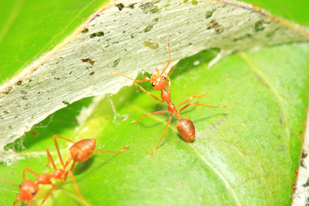 Weaver ants close up view photo