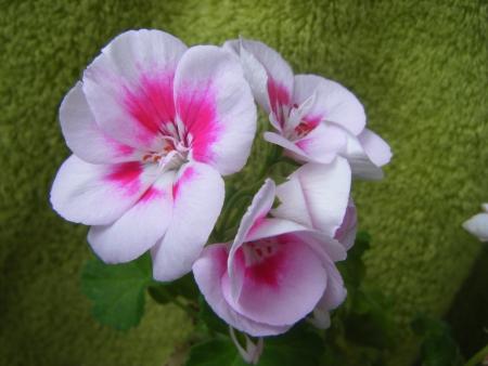 pelargonium: Pelargonium Flower Fairy White Splash