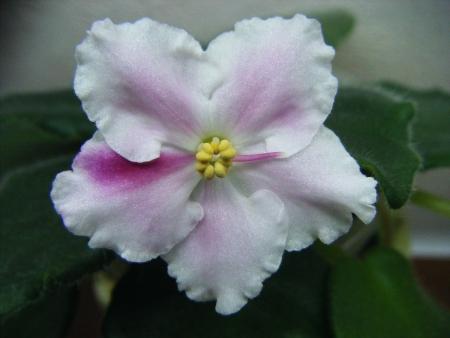 Sainpaulia Macs Southern Springtime