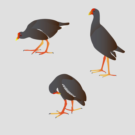 Three Common moorhens illustration set  isolated on  gray background