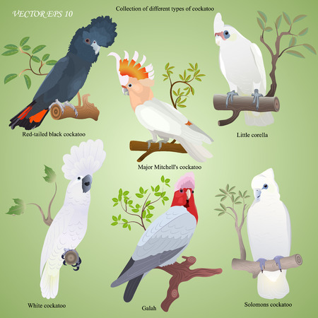 Collection of different types of realistic cockatoo - red tailed black,  major Mitchells, little corella, white,  galah, solomons Illustration