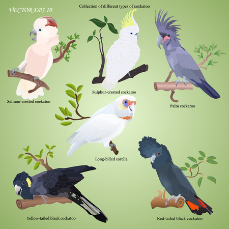Collection of different types of realistic cockatoo. Red tailed black, salmon-crested, sulphur-crested, palm, long-billed corella, yellow-tailed black.