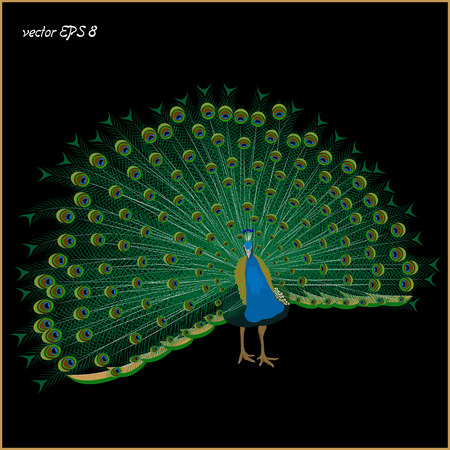 Drawing of a realistic peacock on a black background, isolated