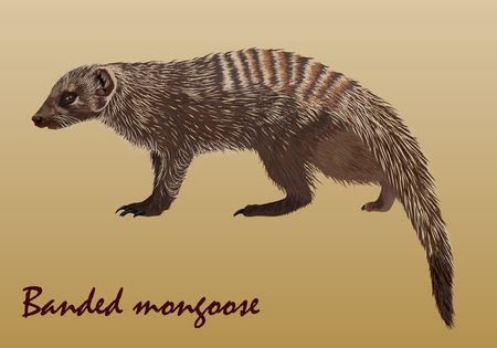 Realistic African striped mongoose, vector, isolated, on light brown background Ilustração