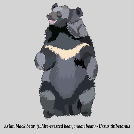 Realistic asian black bear (moon bear,  Himalayan bear), isolated, full size