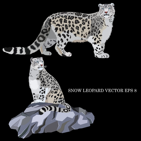 Snow leopard sitting on a rock and walking, isolated, on a black background