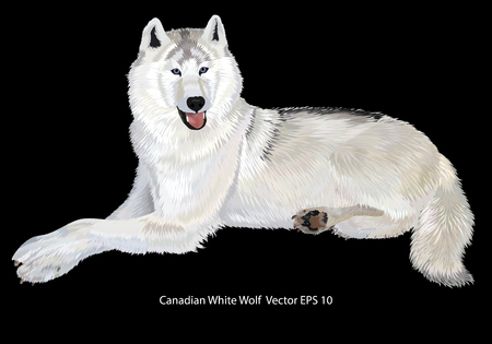 Realistic Canadian white wolf drawing, full size, close up, on black background. isolated. Vector illustration