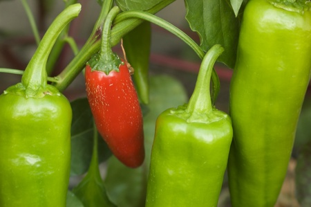green and red peppers in garden
