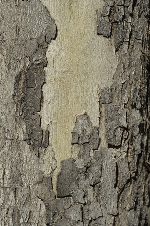 maple tree trunk with bark pealing background and texture photo