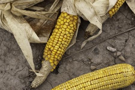 fall corn on soil earth indian yellow dried