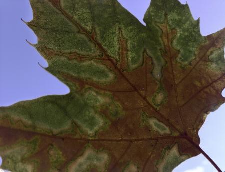 green leaf changing color to orange against a blue sky
