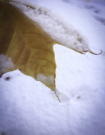 orange fall leaf covered with light snow winter Stock Photo