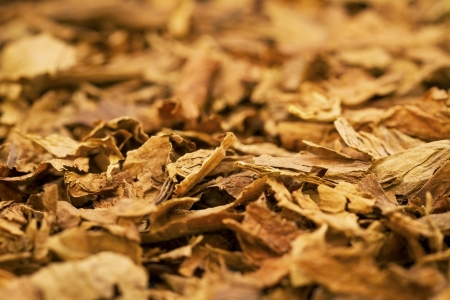 cuban culture: A macro shot of cigar tobacco  These cigars are robusto sized  Stock Photo