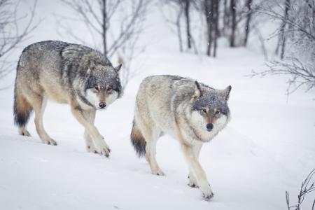 lobo: Lobo en un bosque de invierno noruego Nevando