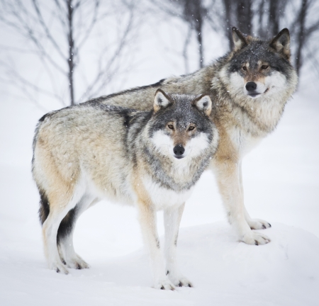 Wolf in einem norwegischen Winterwald Schneien
