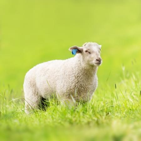 A sheep eating grass  photo