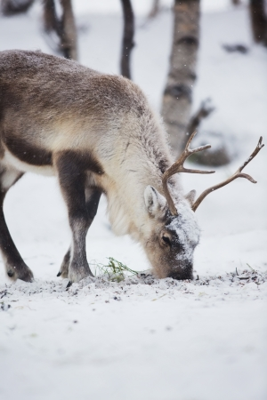 grassing: Reindeer eat grass in Norwegian winter forest a cold winter