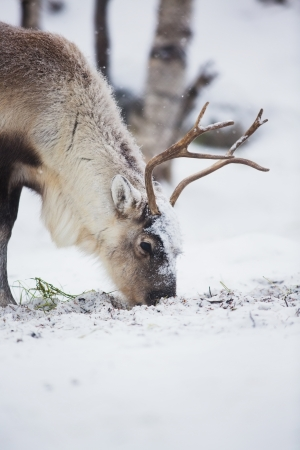 grassing: Reindeer eats grass in Norwegian forest a cold winter