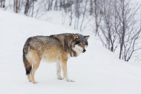 scandinavian peninsula: Wolf alone in the norwegian winter forest  Snowing