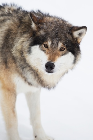 eurasian wolf: Wolf alone in the norwegian winter forest  Snowing