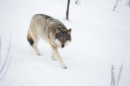 Wolf in a norwegian winter forest  Snowing  photo