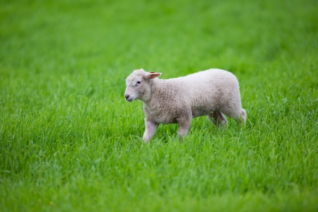 A cute lamb walking in a green field