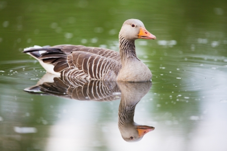 greylag: Greylag goose with mirror effect in the water  Shot at vannet, Norway