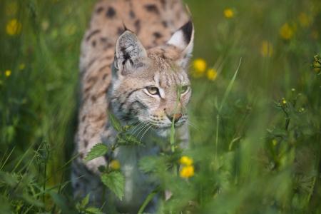stalking: Eurasian lynx sneaks or stalking in the green grass  Stock Photo