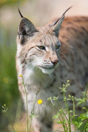 sneaks: Eurasian lynx sneaks or stalking in the green grass  Stock Photo