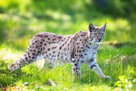 Eurasian lynx sneaks or stalking in the green forest