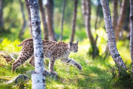 stalking: Eurasian lynx sneaks or stalking in the green forest