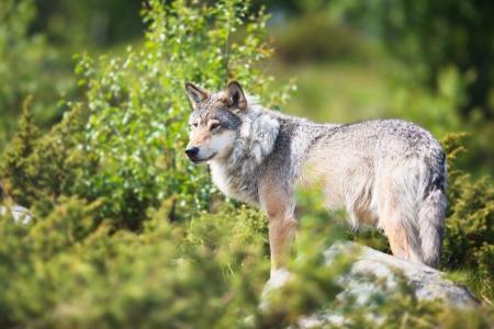 scandinavian peninsula: Close up of a wolf in the norwegian summer forest  Stock Photo
