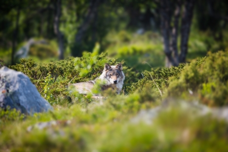 wilderness area: One wolf laying and rests in a norwegian summer forest