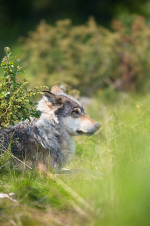 eurasian wolf: Close up of a wolf in the norwegian summer forest  Stock Photo