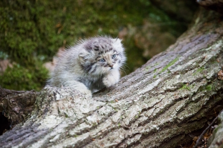 pallas: Young pallas cat kitten , or manul, lives in the cold and arid steppes of central Asia  Winter temperatures can drop to 50 degrees below zero
