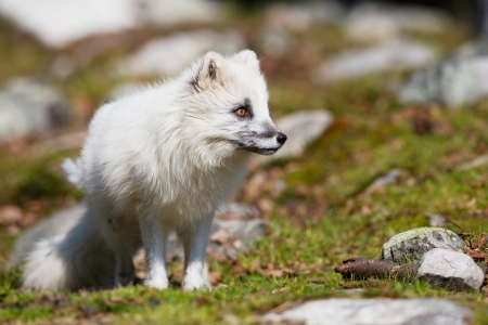 rare animals: A white fox in the mountains, Norway  Stock Photo