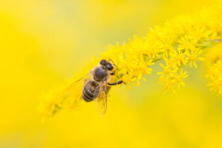 Bees are flying insects closely related to wasps, ants  Known for their role in pollination and producing honey beeswax  photo