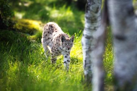 sneaks: Eurasian lynx sneaks or stalking in the green forest