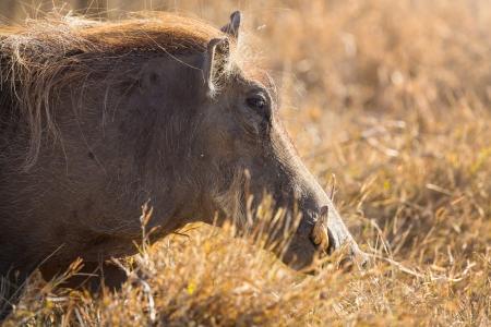 conservation grazing: Wild hog walking in Ngorongoro, Tanzania Africa  Stock Photo