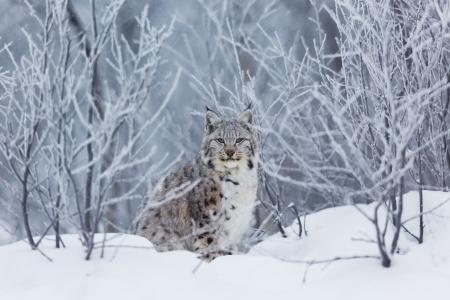 lince: Un lince europeo en la nieve fría del invierno noruego