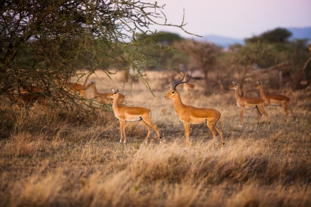 s horn: Gazelle looking after enemies an early morning in Serengeti, Tanzania Africa  Stock Photo