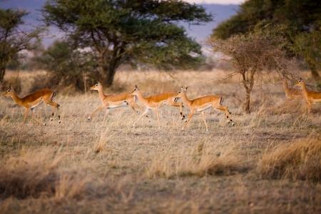 s horn: Gazelle runs an early morning in Serengeti, Tanzania Africa  Stock Photo