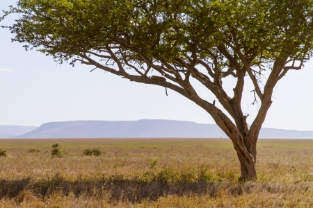 Leopard rests a tree in Serengeti, Tanzania Africa  photo