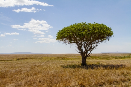Lonely tree at the endless plains of Serengeti, Tanzania Africa  photo