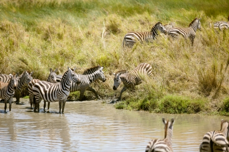 Zebra in the Serengeti National park, Tanzania, Africa  photo