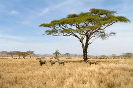 セレンゲティ国立公園、タンザニア、アフリカのシマウマ
