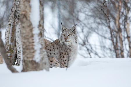 two animals: A european lynx in the snow  Cold winter, February, Norway  Stock Photo