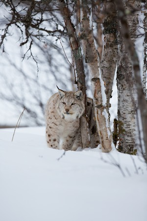 sneaks: A european lynx sits in the snow  Cold winter, February, Norway