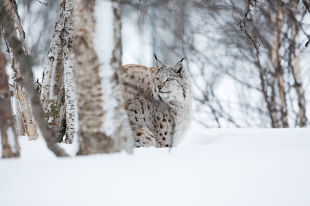 sneaks: A european lynx in the snow  Cold winter, February, Norway  Stock Photo