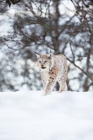 sneaks: A european lynx sneaks in the winter forest  February, Norway